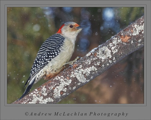 Red-bellied Woodpecker_4231