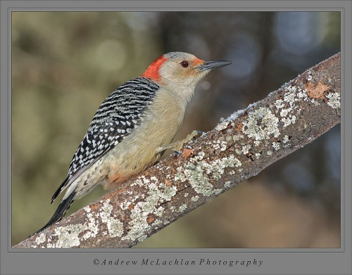 Red-bellied Woodpecker_4234