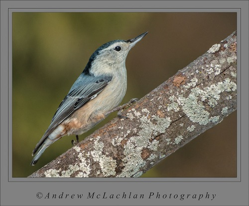 White-breasted Nuthatch_4543