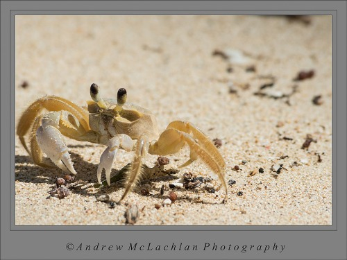 Ghost Crab_5271_RAW Capture