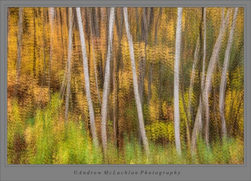 6 Image Multiple Exposure of White Birch and Autumn Color