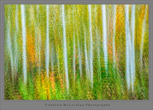 Aspen Trees Multiple Exposure inspired by Denise Ippolito