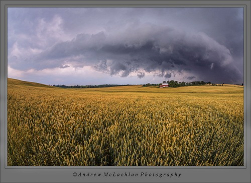 Storm clouds over winter wheat crop near Bradford, Ontario