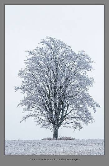 Lone tree after ice storm near Thornton, Ontario