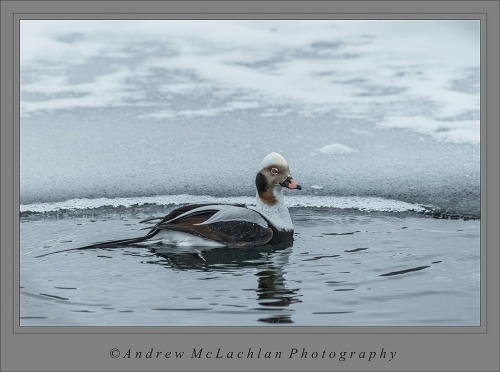 Long-tailed Duck (formerly Old Squaw) at Humber Bay Park - Toronto