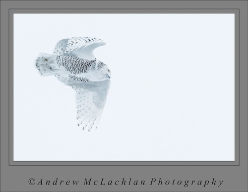 Snowy Owl in Flight - Thornton, Ontario
