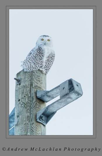 Snowy Owl on Hydro Pole - Thornton, Ontario