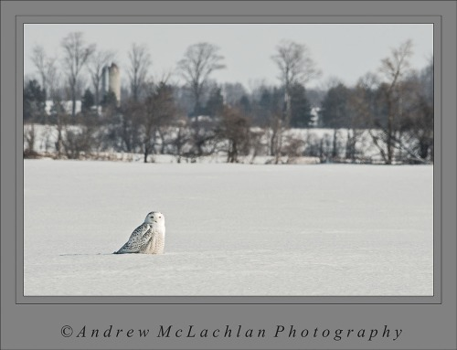 Snowy Owl in Winter Farm Field - Thornton, Ontario