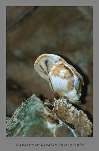 Barn Owl in Cave