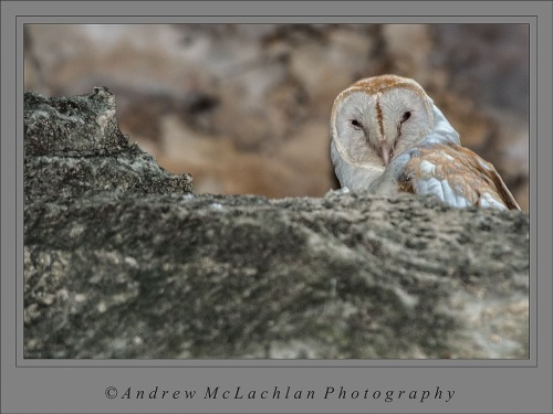 Barn Owl in Cave on Cayman Brac