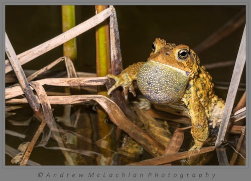 Male American Toad (Bufo americanus) chorusing in pond at night.
