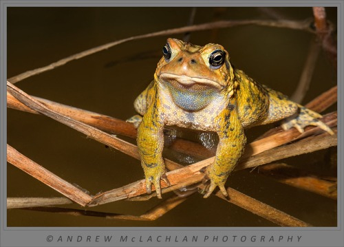 American Toad (Bufo americanus) in pond at night