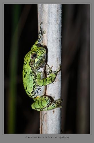 Gray Treefrog_260