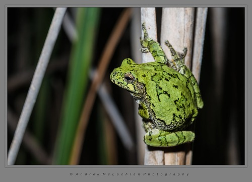Gray Treefrog_278
