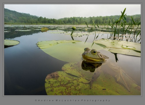 Bullfrog on Horseshoe Lake, Parry Sound, Ontario