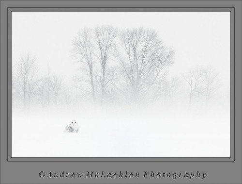 Snowy Owl in Blizzard Conditions, Thornton, Ontario