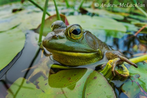 Bullfrog Among Lily Pads on Horseshoe Lake Nikon D800 (with 1.5 sensor crop activated), Sigma EX DG f2.8 15mm Fisheye Lens ISO 800, f8 @ 1/60 sec