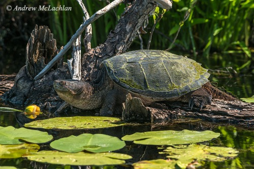 Common Snapping Turtle Nikon D800, Nikon 80-400mm VR Lens Nikon Circular Polarizing Filter ISO 800, f11 @ 1/320