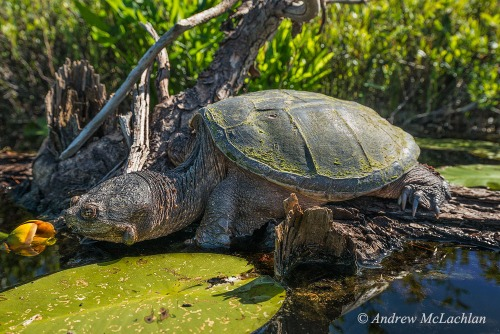 Common Snapping Turtle Nikon D800, Nikon 18-35mm Lens @ 35mm Handheld at ISO 400, f8 @ 1/1000