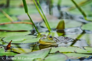 Bullfrog in wetland on Horseshoe Lake Nikon D800, Sigma 150-600mm Sports Telephoto Zoom ISO 800, f8 @ 1/80 sec Handheld from canoe in overcast light