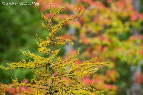 Eastern larch in Autumn Nikon D800, Nikon 200-500mm Lens @ 500mm ISO 400, f11 @ 1/160 sec Handheld