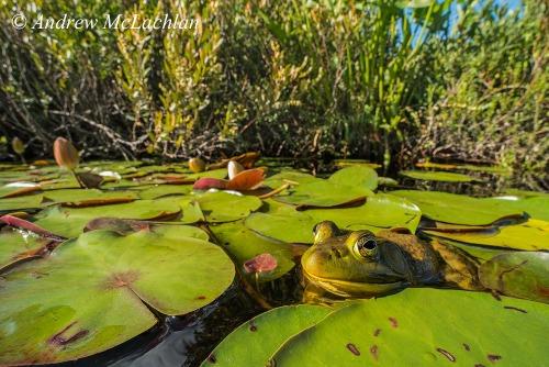 Bullfrog Nikon D800, Laowa 15mm Macro Lens ISO 800, f16 @ 180 sec Handheld FULL FRAME
