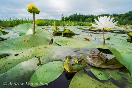 Bullfrog in Wetland on Horseshoe Lake, Ontario