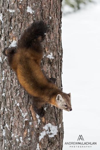 Pine Marten - Algonquin Provincial Park, Ontario Nikon D500, Nikkor 200-500mm lens @ 220mm ISO 1000 f8 @ 1/800 sec