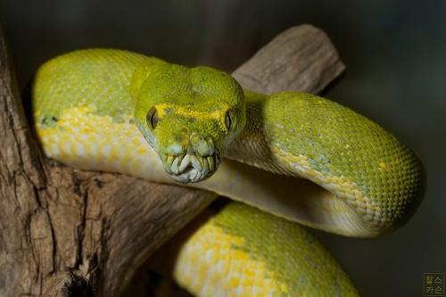 Green Tree Python © Chuck Carson