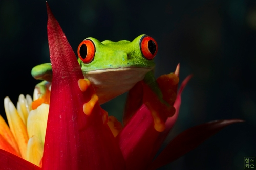 Red-eyed Tree Frog © Chuck Carson