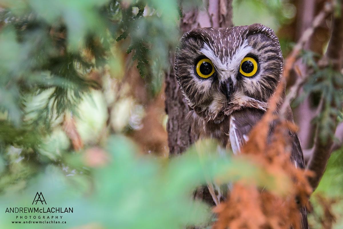 Saw Whet Owl_5477